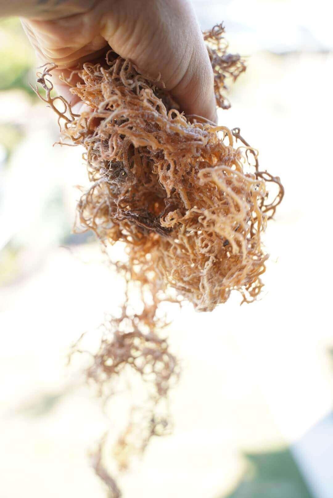 Abundance of Sea Moss