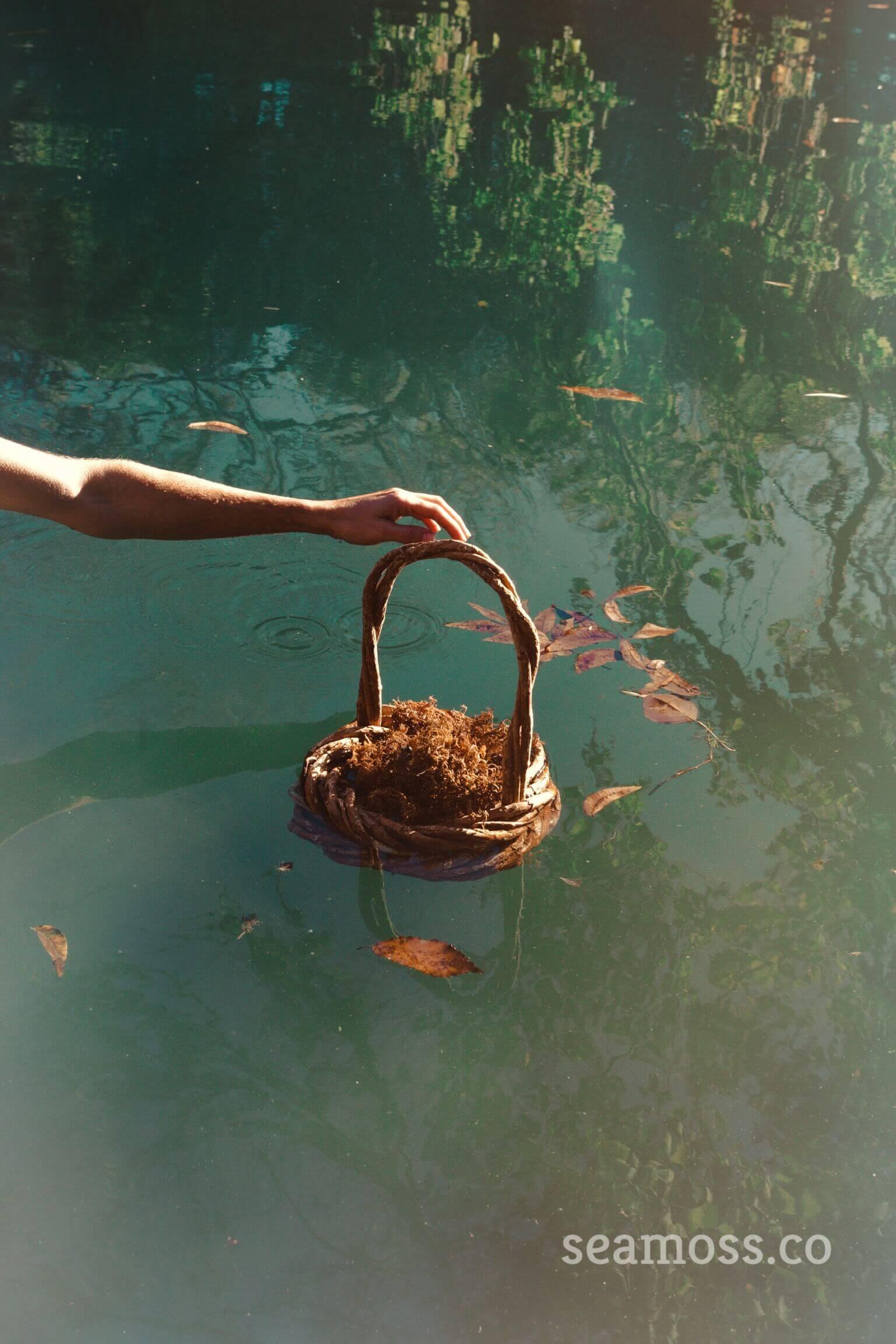 Basket of sea moss floating in Barton Springs