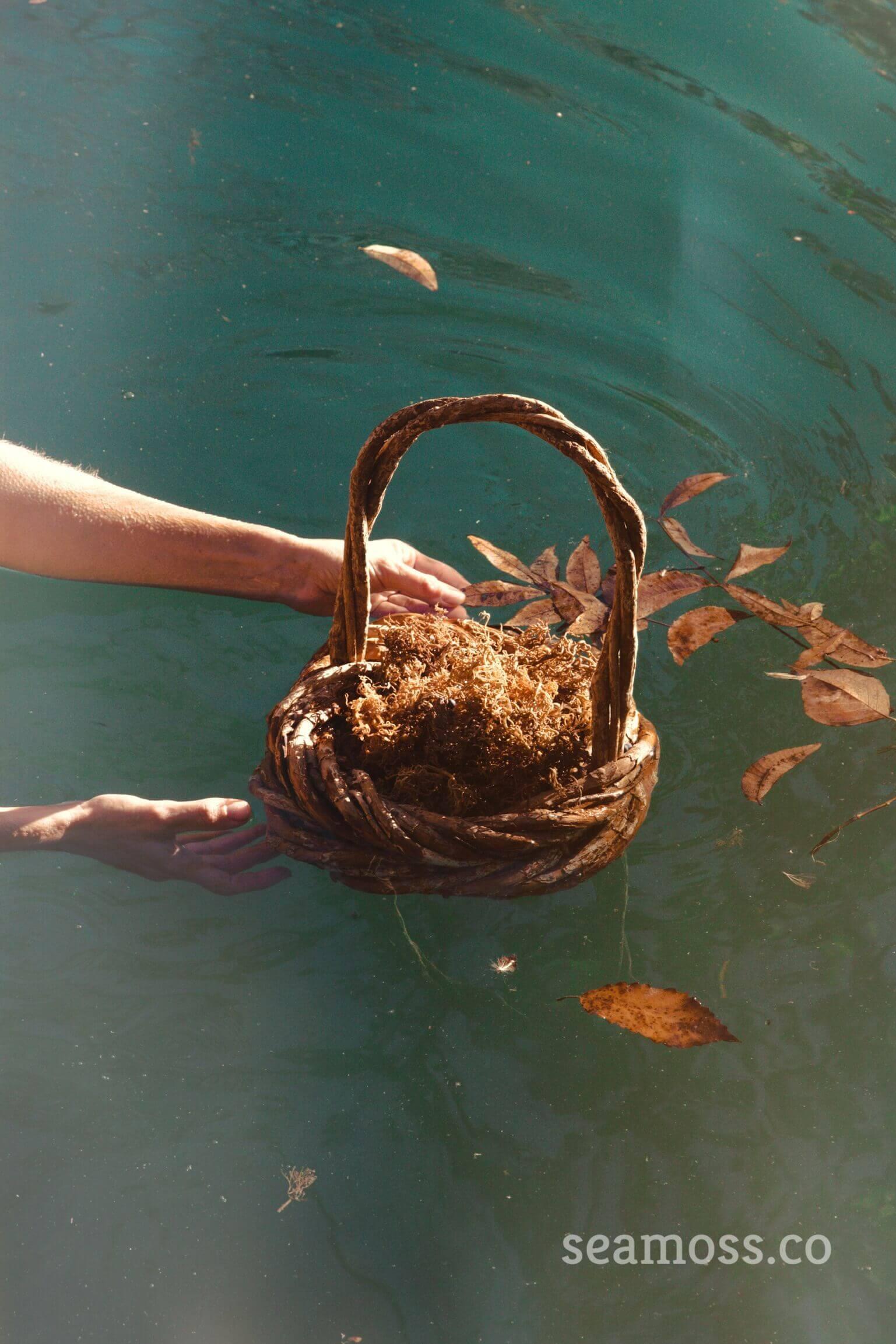 Basket of sea moss in Barton Springs