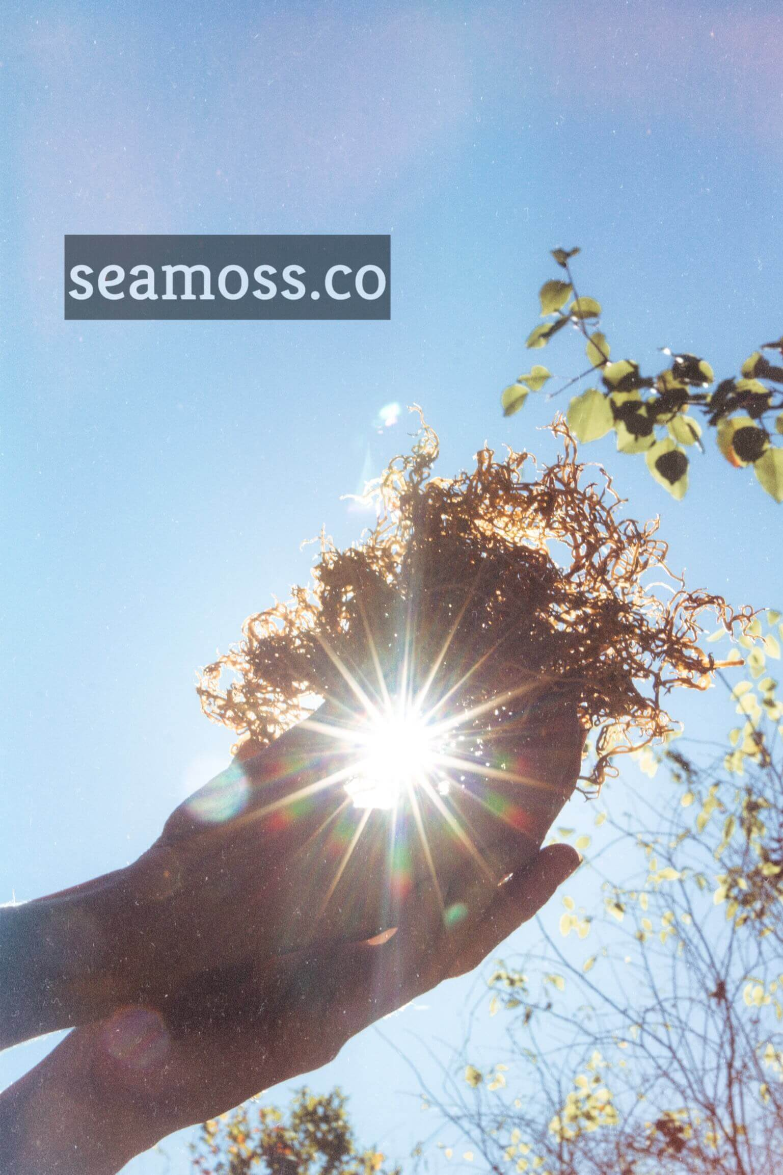 Holding Sea Moss in the Sun