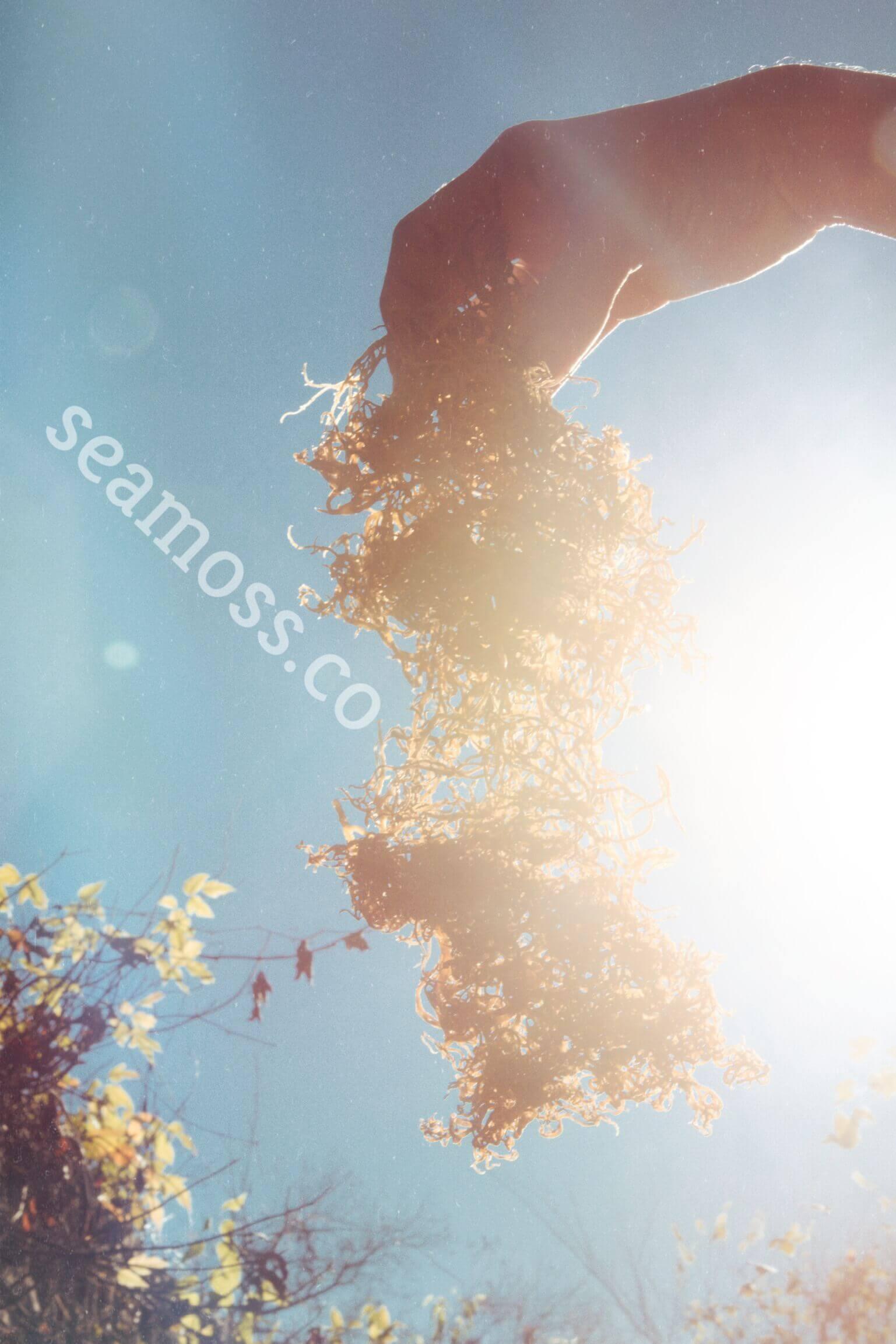 Sea Moss in the Sun