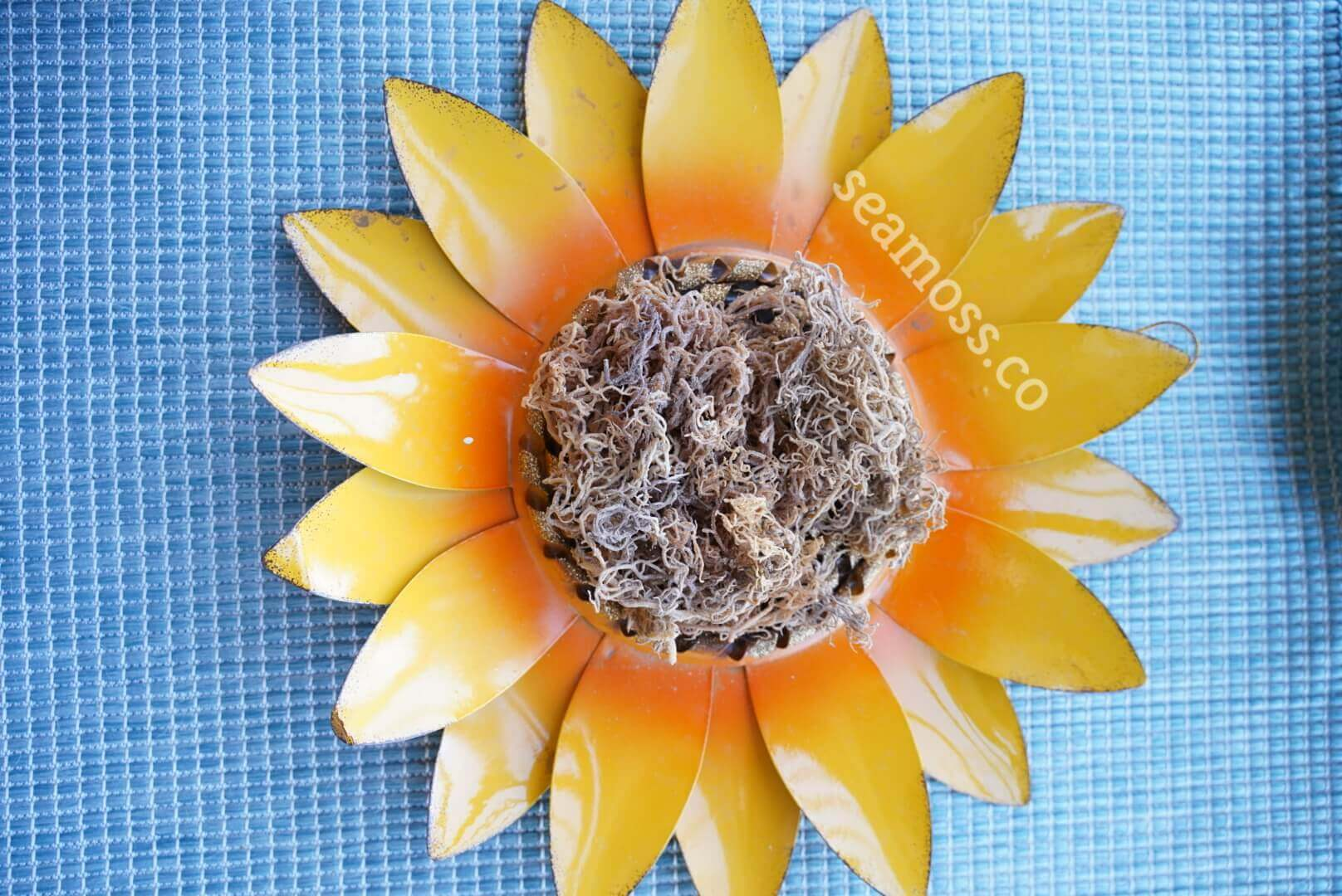 Wildcrafted Sea Moss on Sunflower