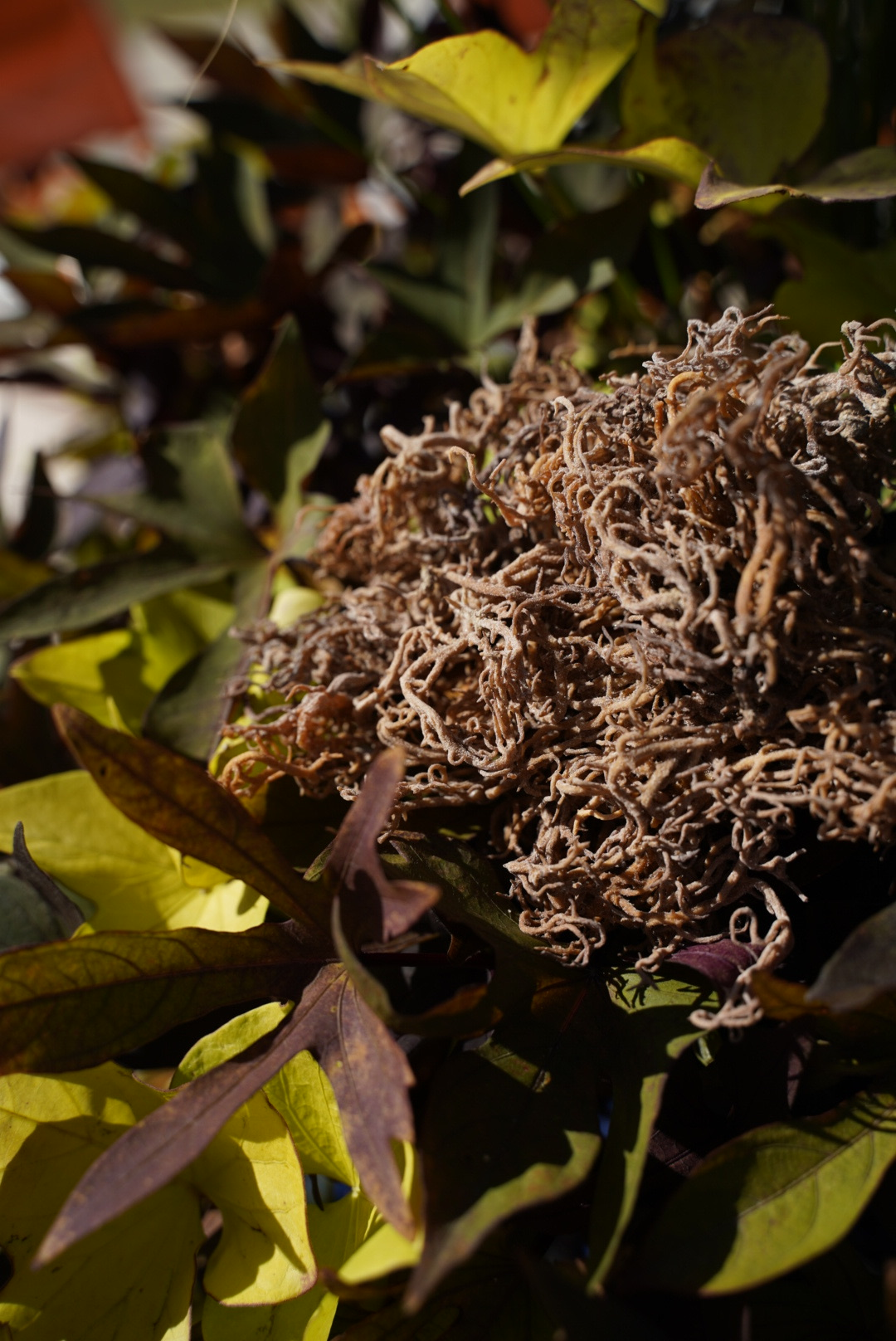 Wildcrafted Sea Moss: Super Raw + Unprocessed (Wholesale)