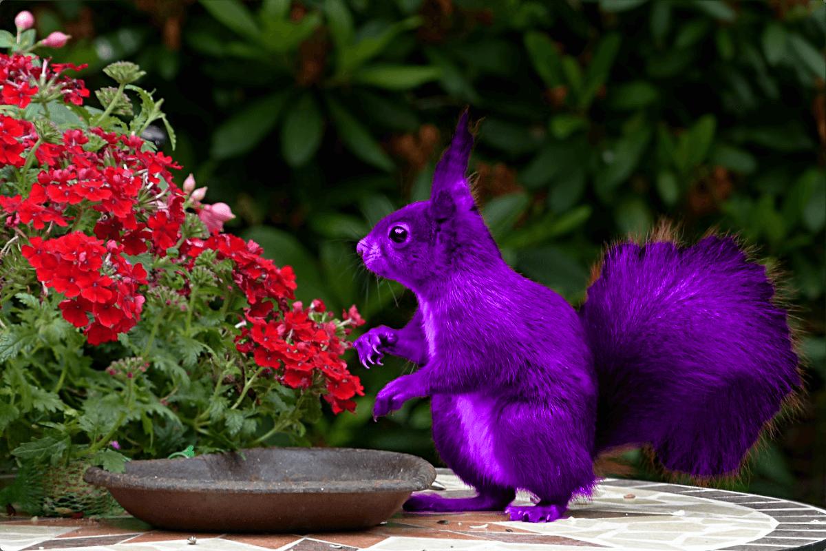 Purple squirrel
