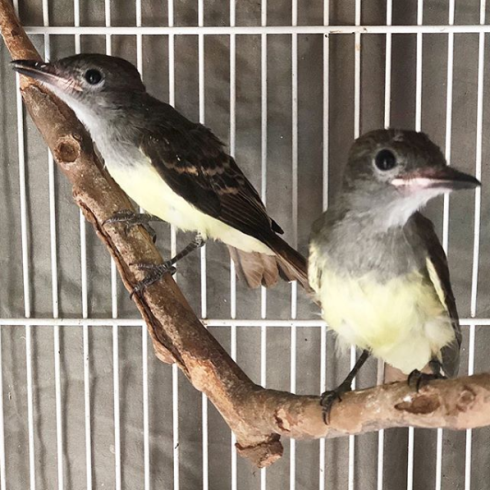 Our Beautiful Flycatchers before being release back to the wild.