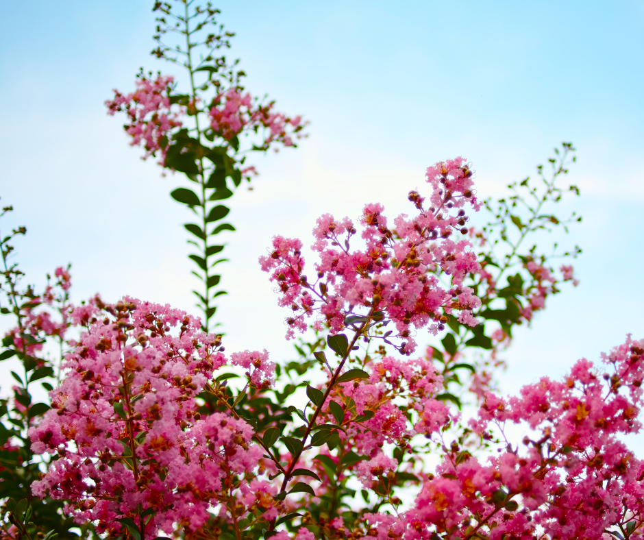 How To Care for Crape Myrtles