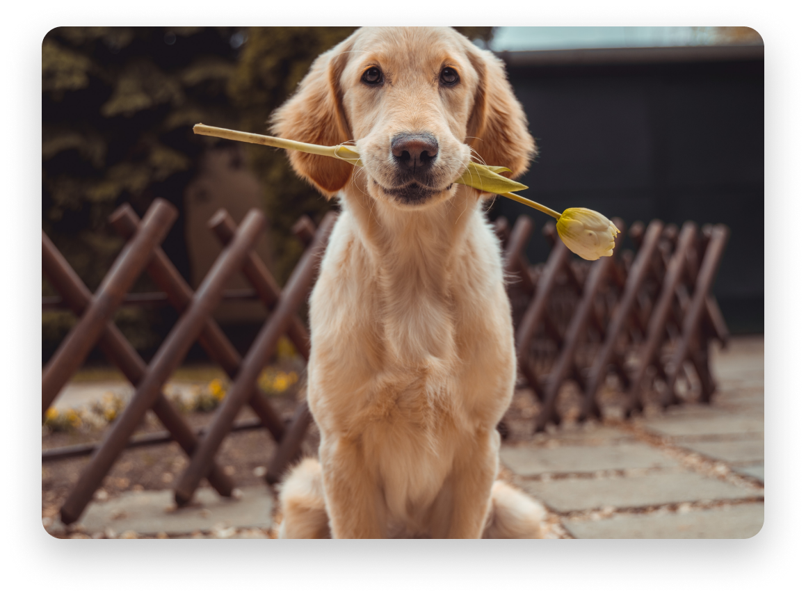 Golden retriever dog holding flower