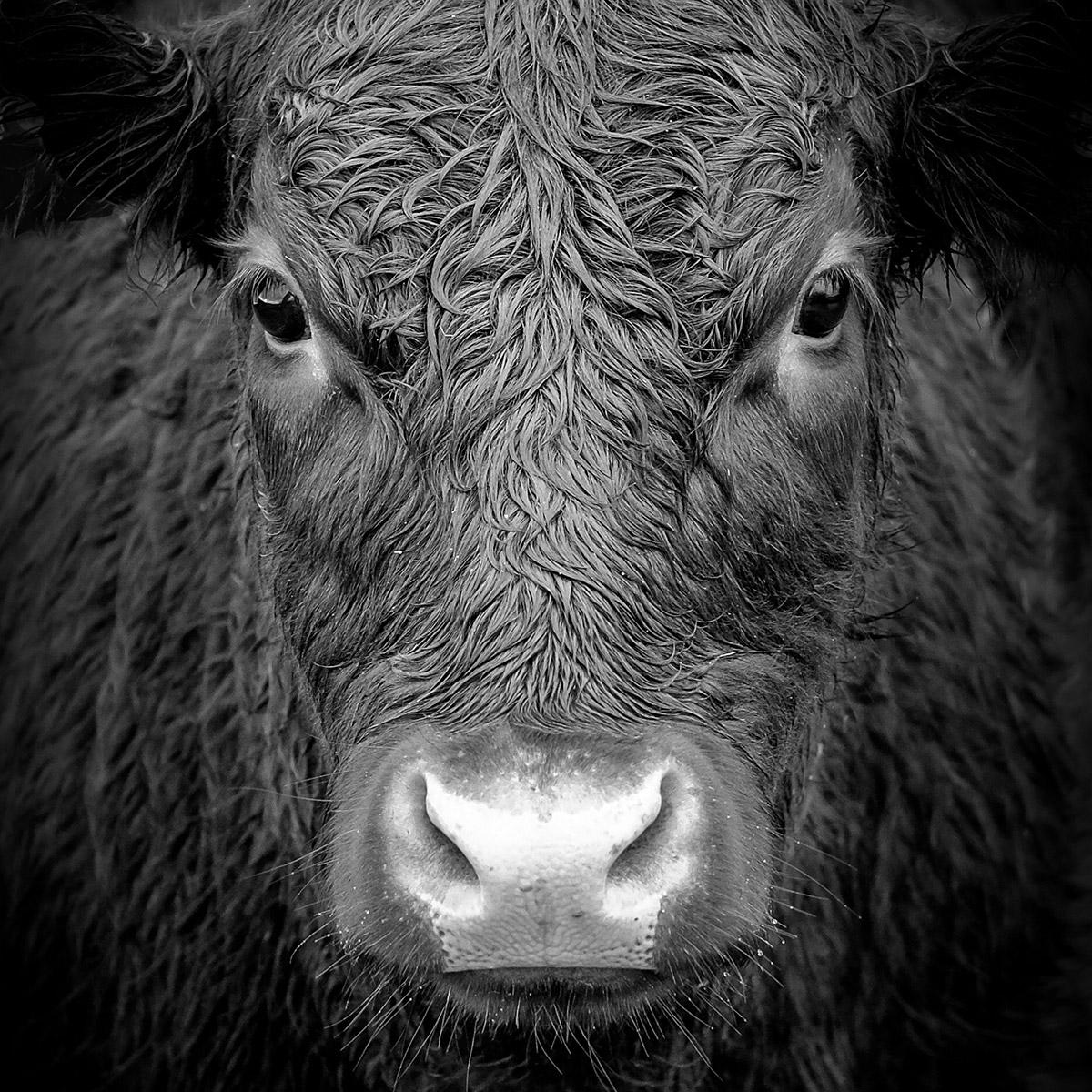 black and white bulls head