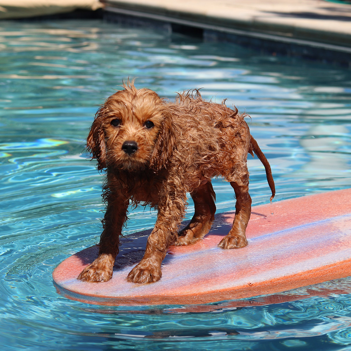 cute brown dog with wet fur on red surf board in swimming pool