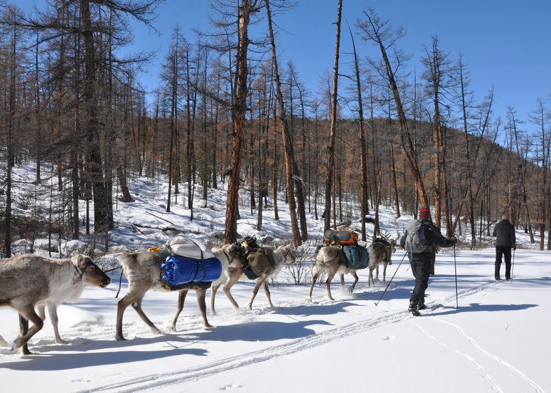 Skiing into the taiga with reindeer. Photo: Andy Parkinson
