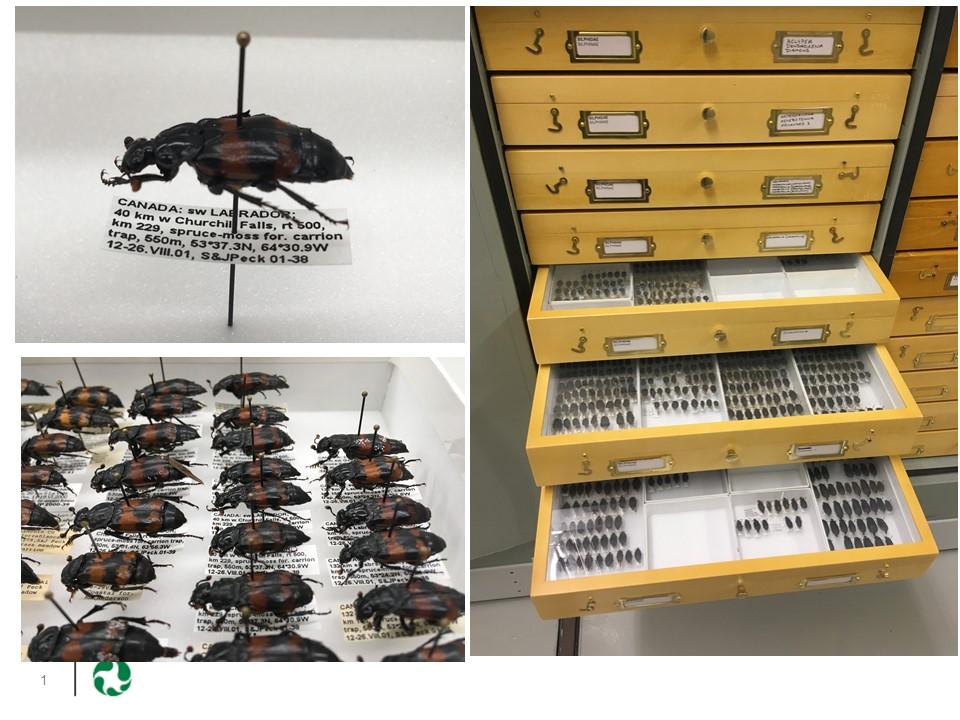 Un échantillon des coléoptères donnés par les Pecks aux collections nationales du musée. Il s'agit de coléoptères charognards du genre Nicrophorus, recueillis par les Pecks au Labrador. Les coléoptères charognards enterrent les petites carcasses de souris et d'oiseaux sur lesquelles ils pondent leurs œufs.