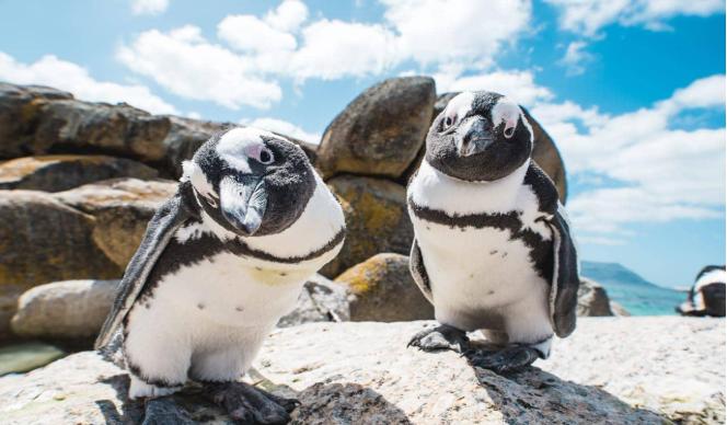 penguins boulders beach environmental science internships in cape town