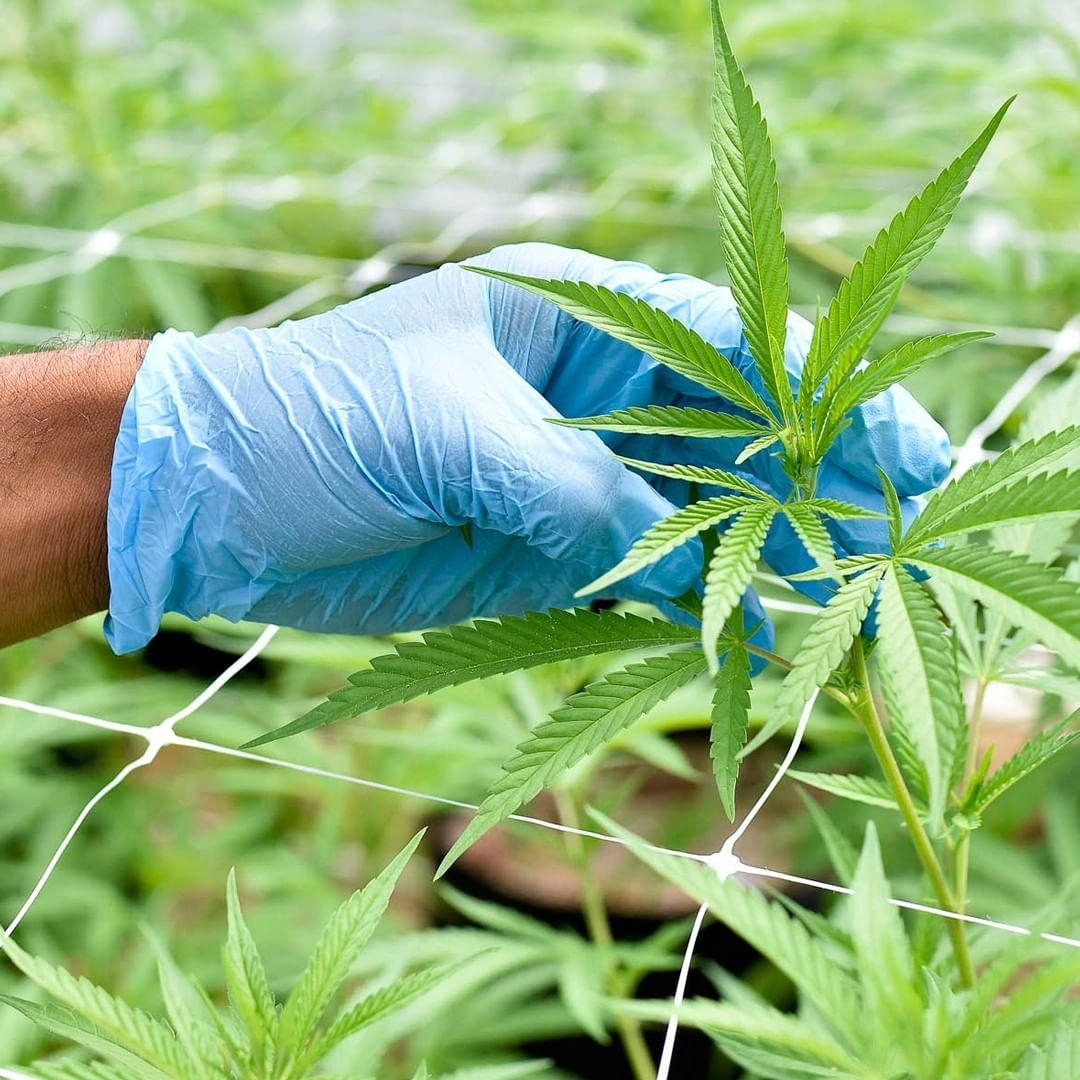 Fotmer Life Sciences cannabis plant