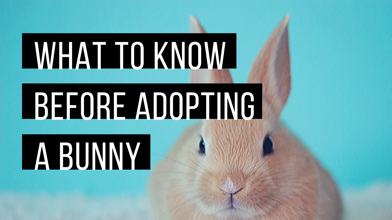 What to consider before adopting a rabbit