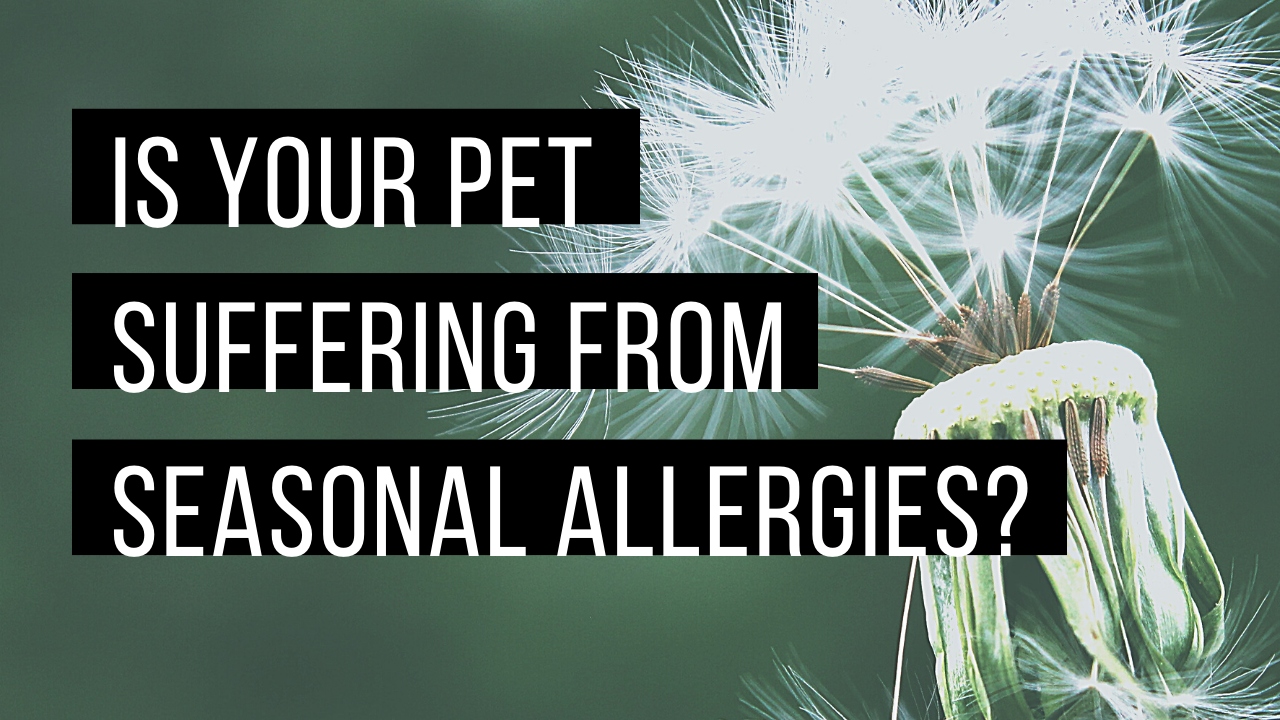 Is your pet suffering from seasonal allergies?
