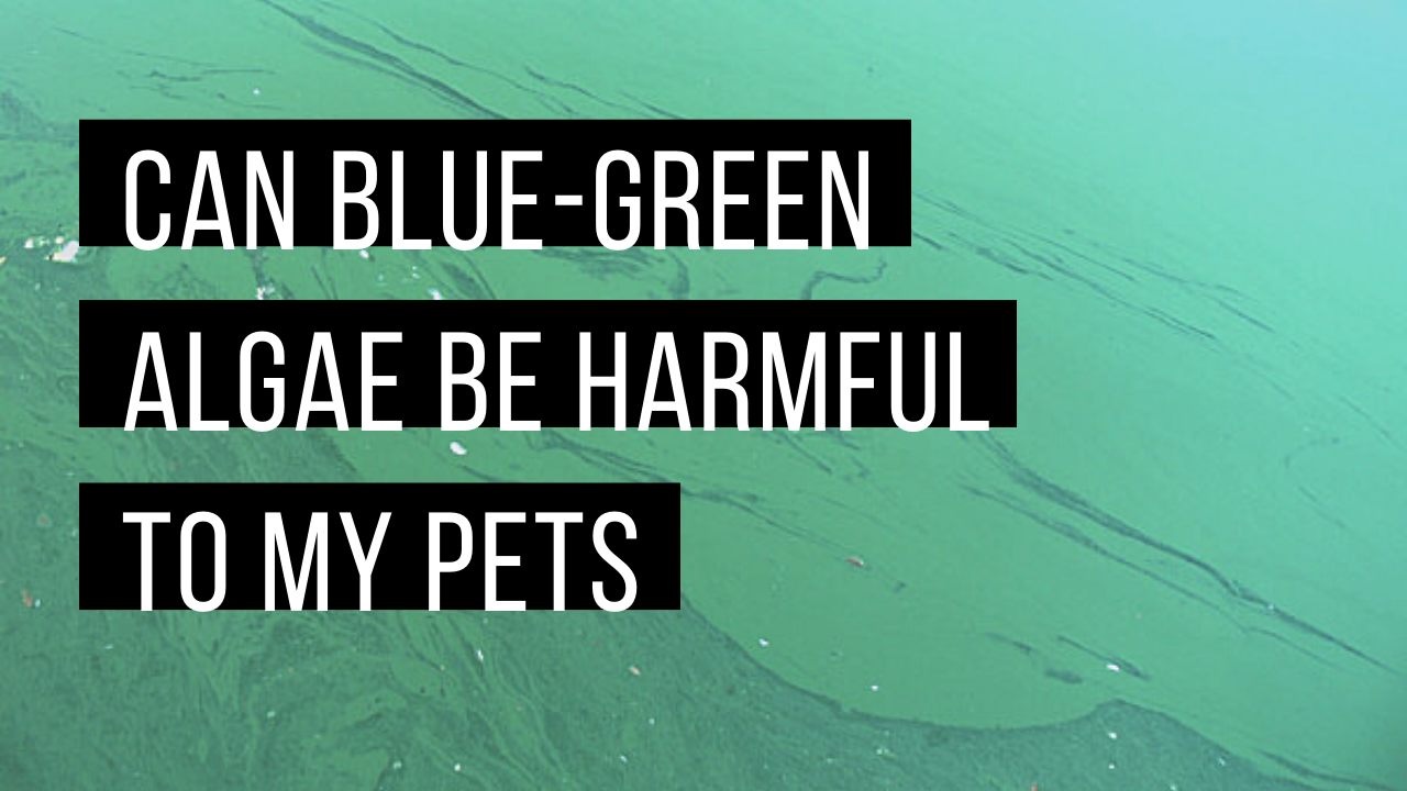 Blue-green algae and your pets