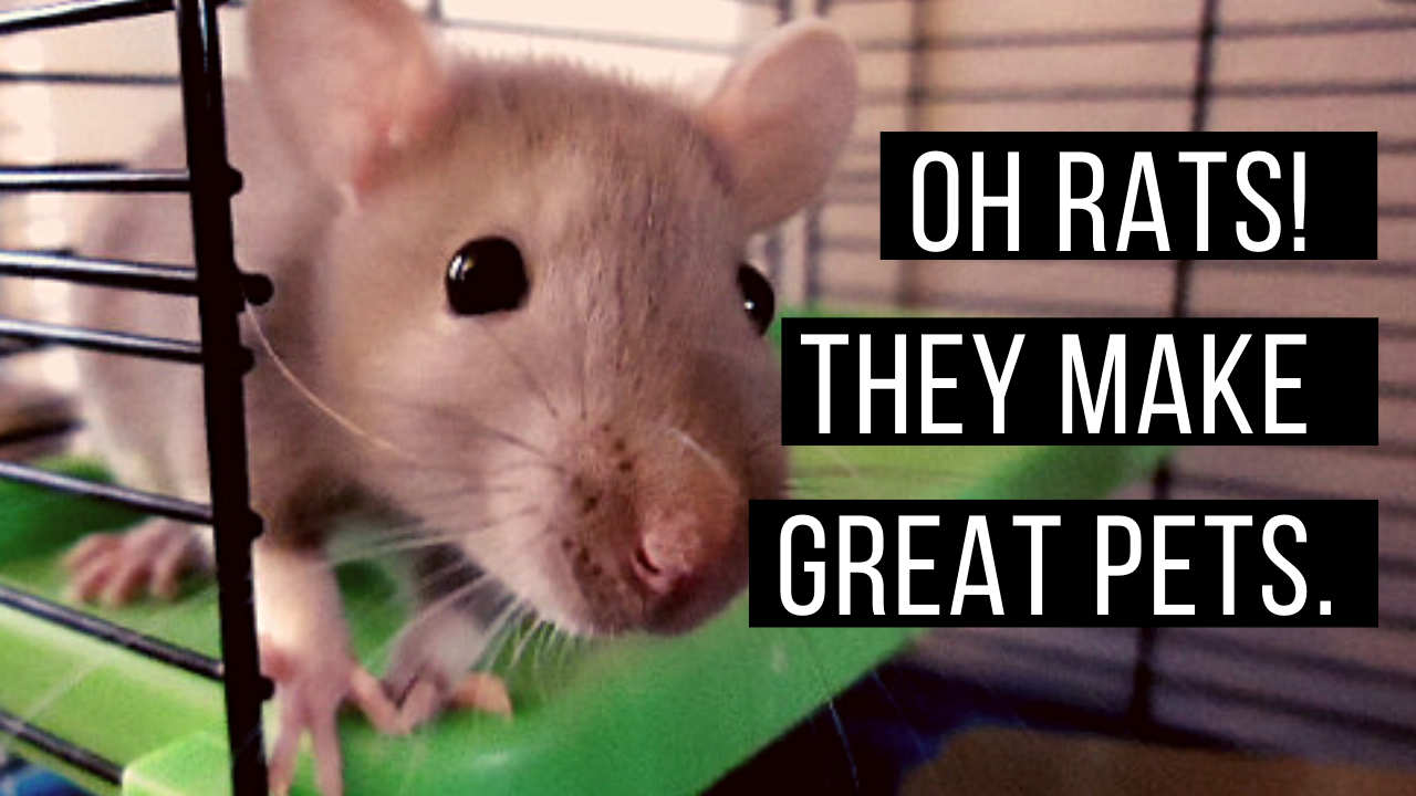 Oh, rats! They make great pets.