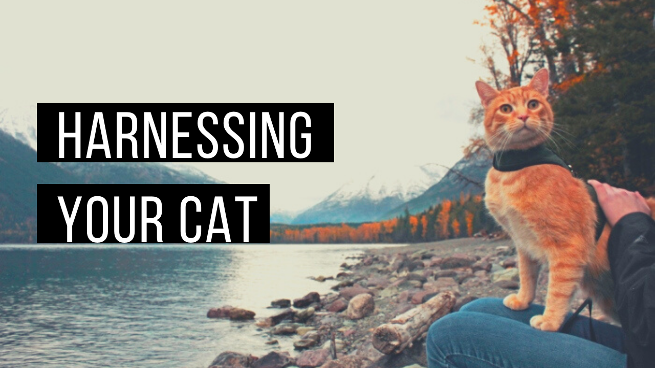 Harnessing your cat