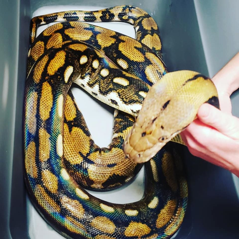 Ka the 11ft long Reticulated Python
