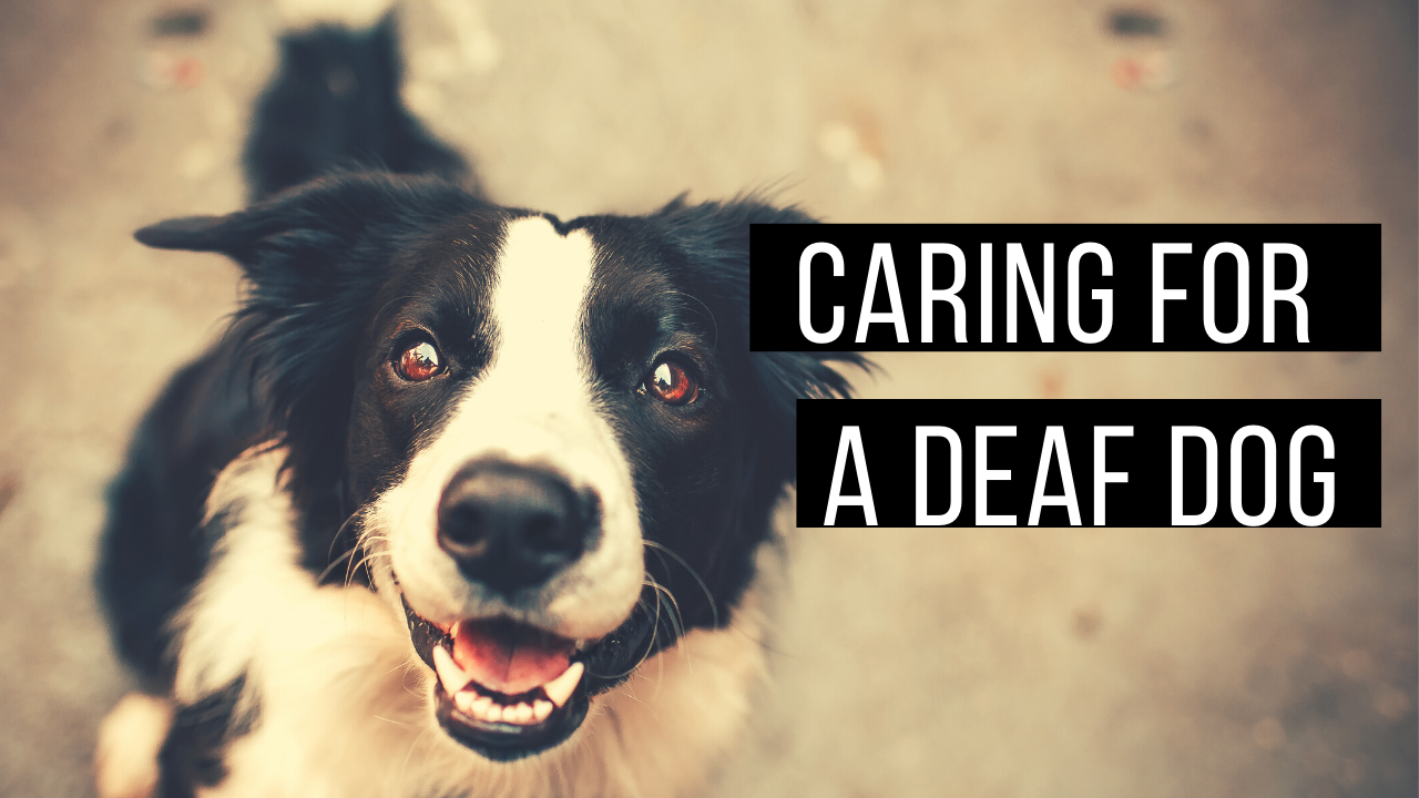 Caring for a deaf dog