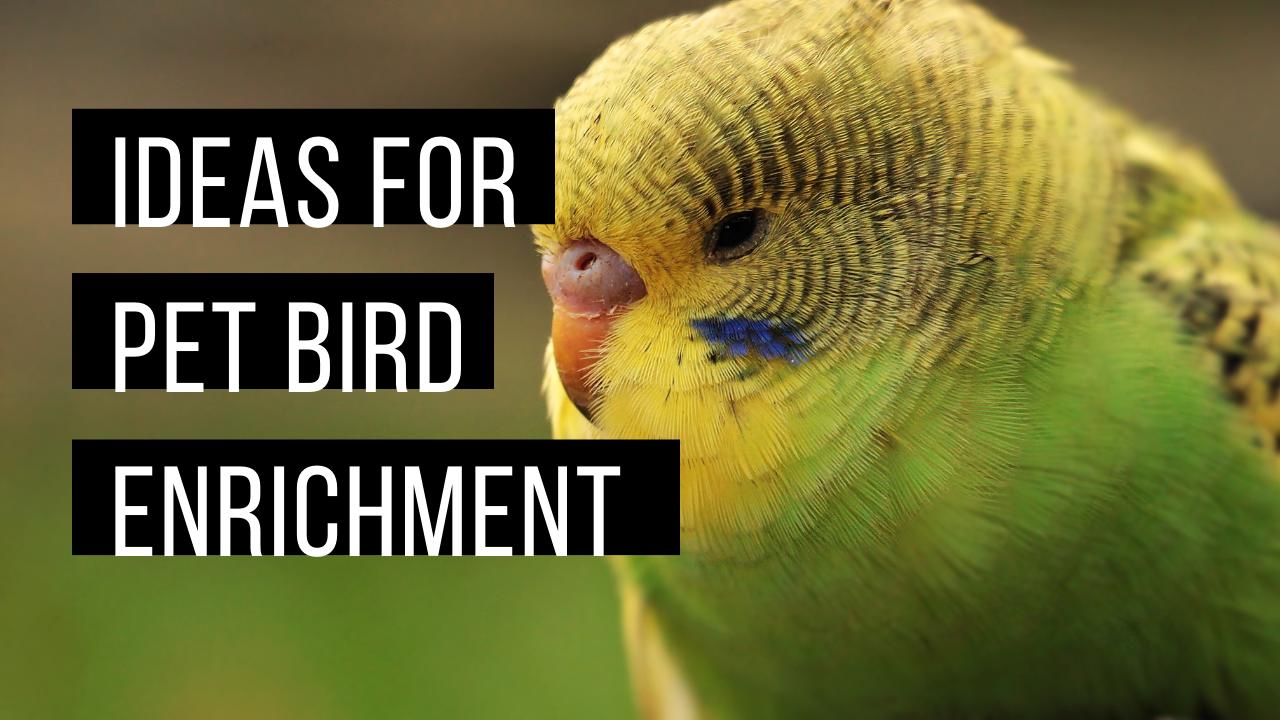 Pet bird enrichment