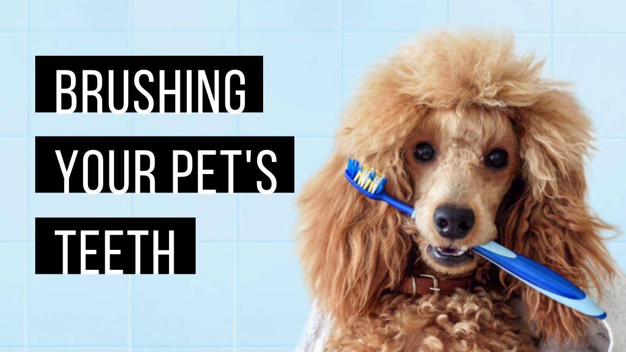 Brushing your pet's teeth