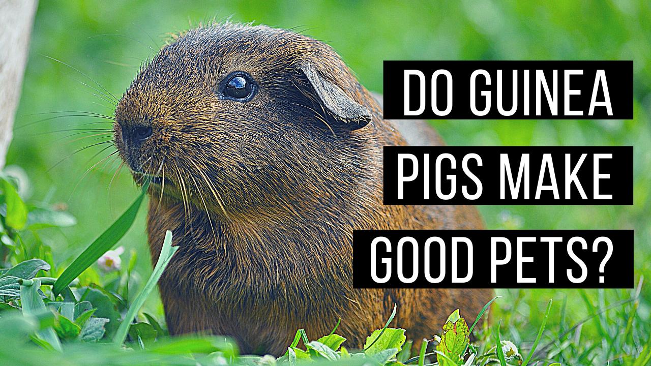 Do guinea pigs make good pets