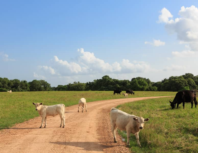 Free range cattle on a dirt road at BlissWood Ranch, Texas