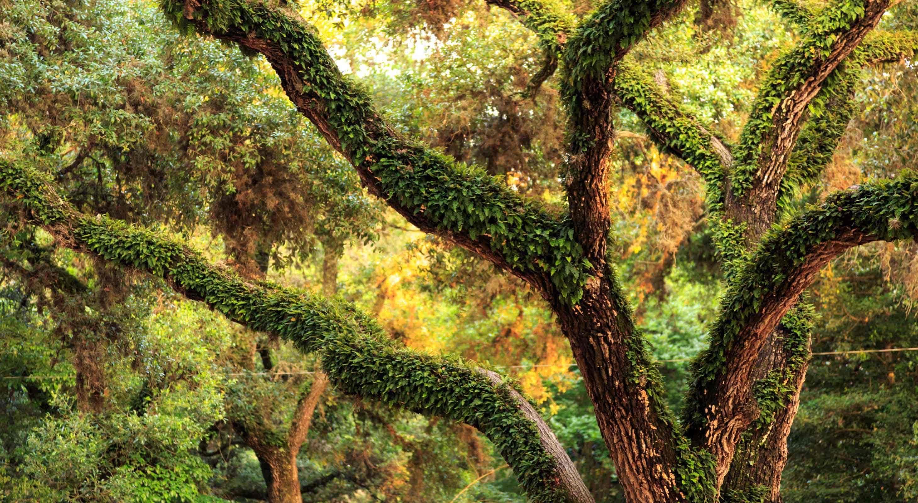 Fern covered branches of a large oak tree at BlissWood Ranch