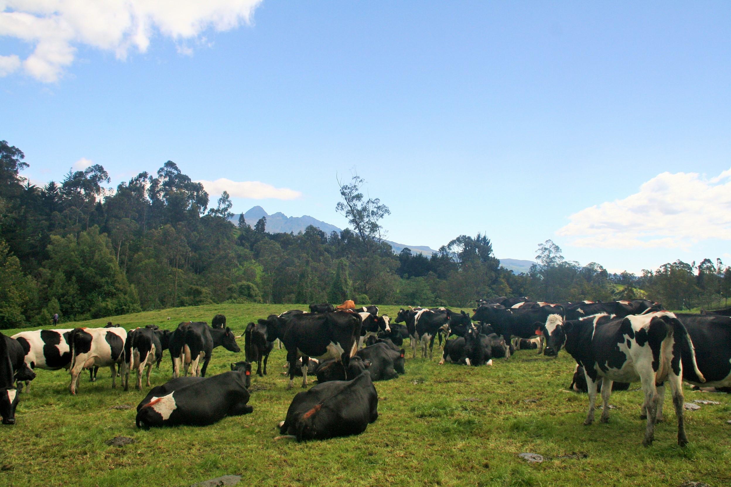 Vacas rumiando en potrero de Machachi Ecuador
