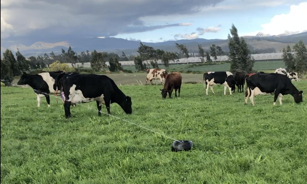 Vacas en pastoreo con sistema de riego de pasturas.