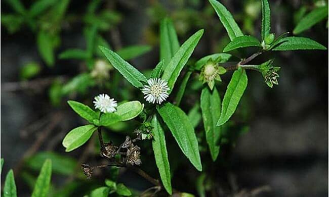 Sử dụng cây nhọ nồi làm trà chữa bệnh gan nhiễm mỡ
