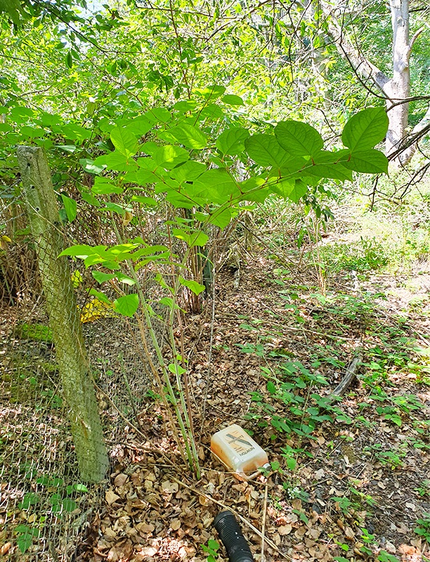 Cemetery Contaminated Land Assessment - Japanese Knotweed