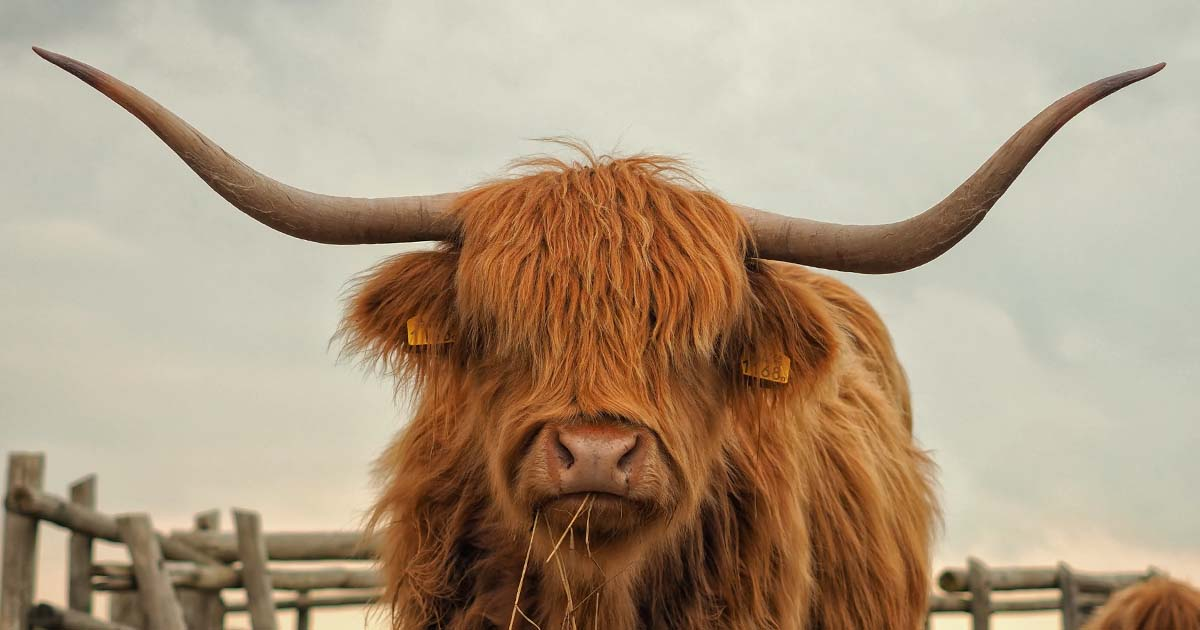 furry cow with horns