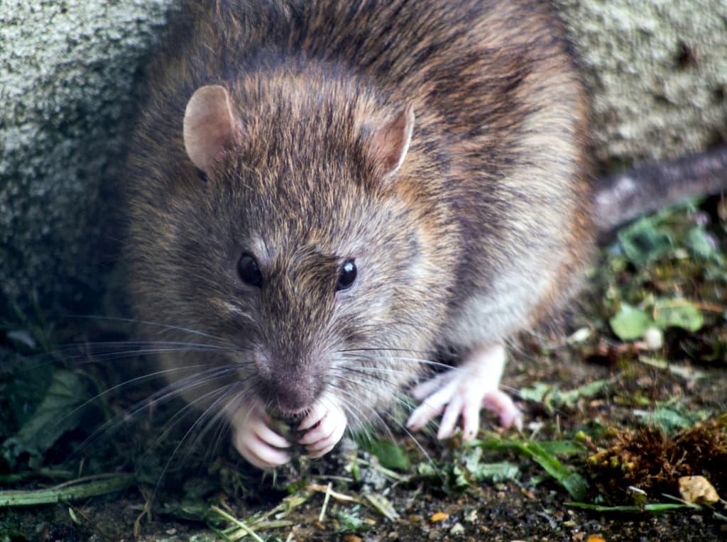 Rat in a garden