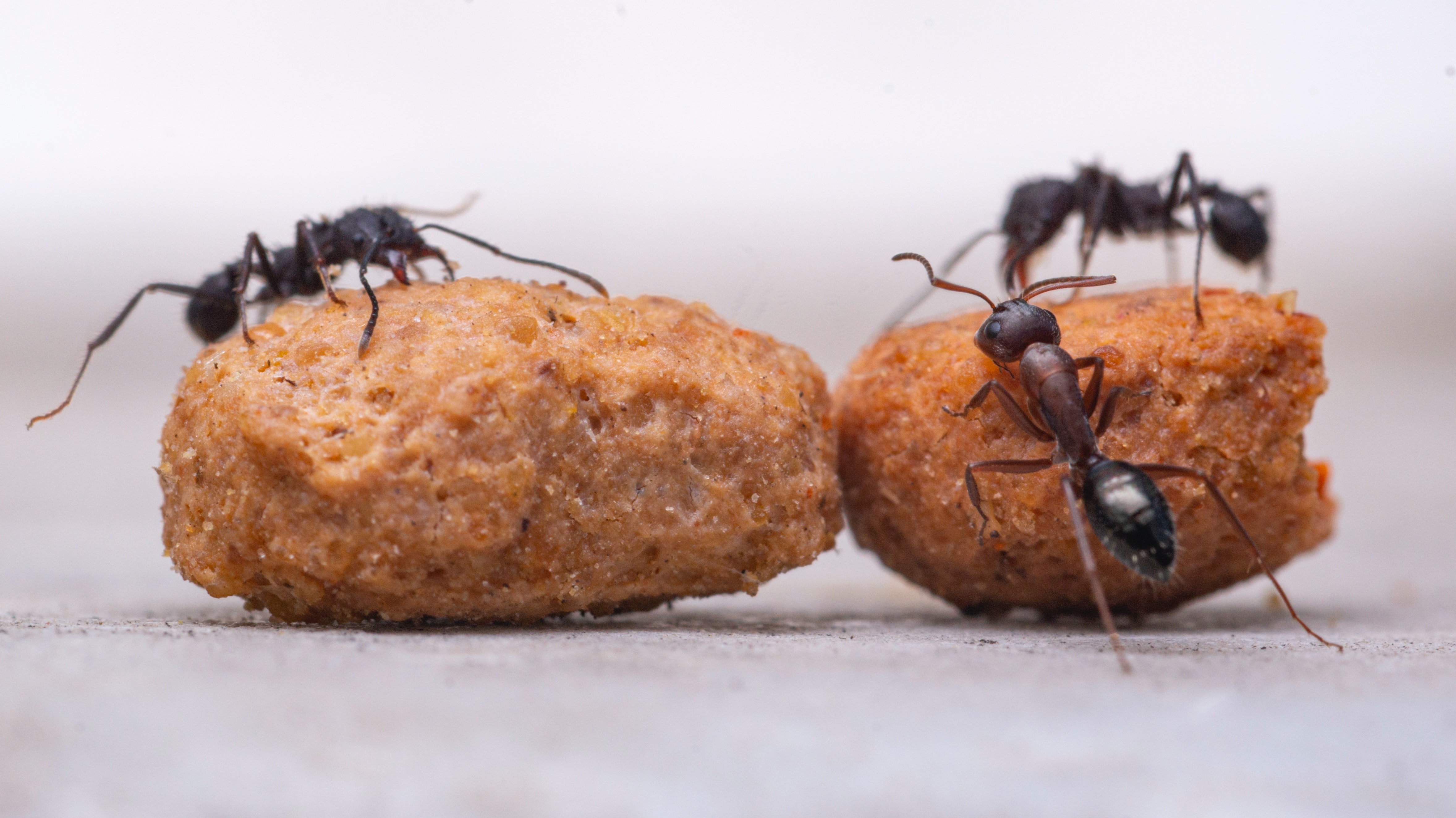 Ants foraging food