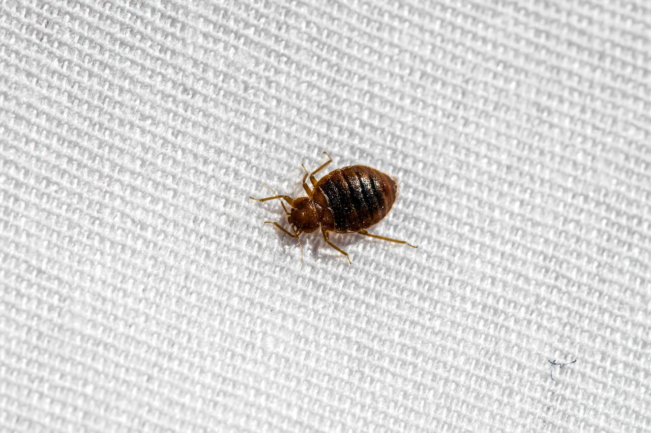 Bed bug on a white sheet