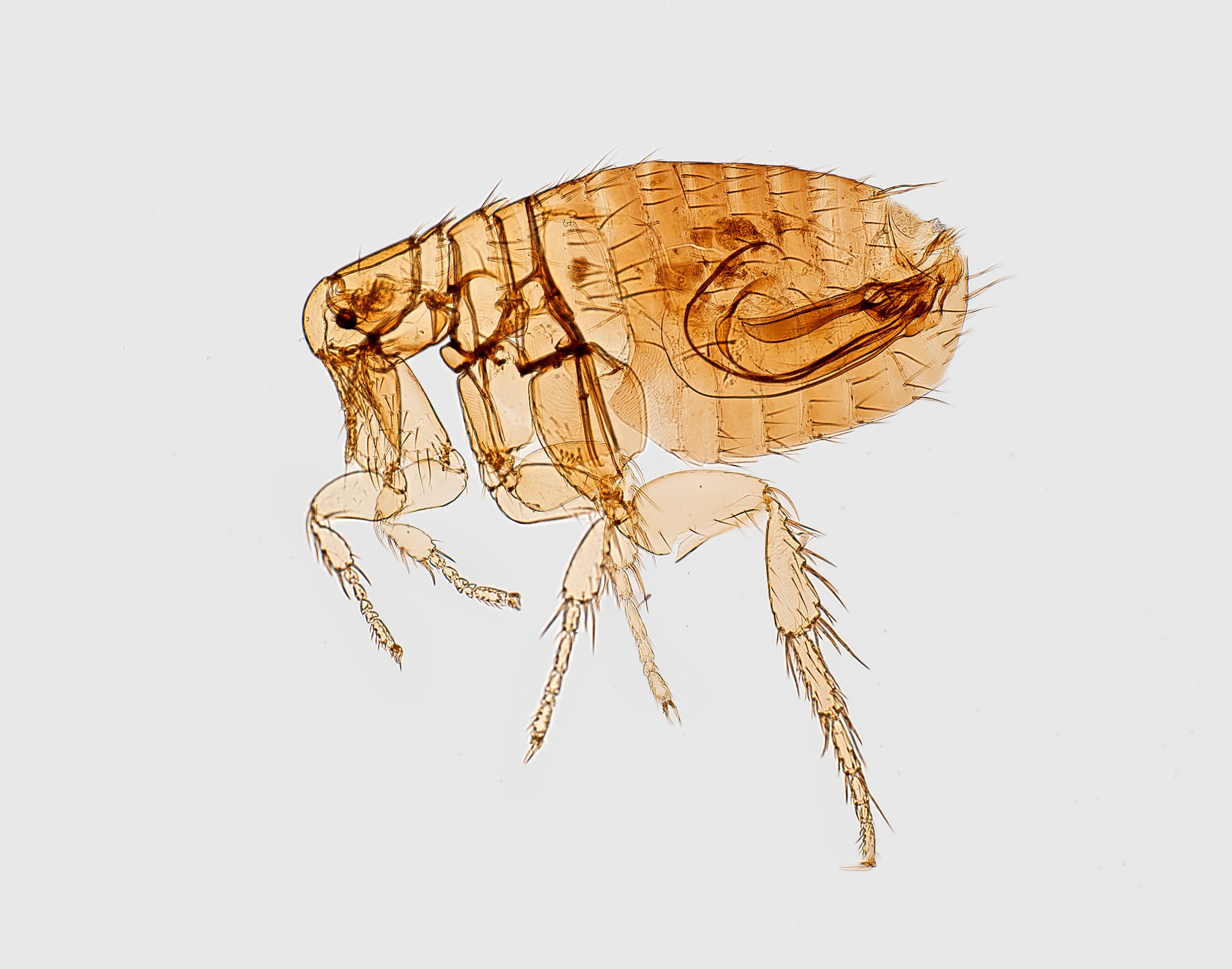 A common flea insect