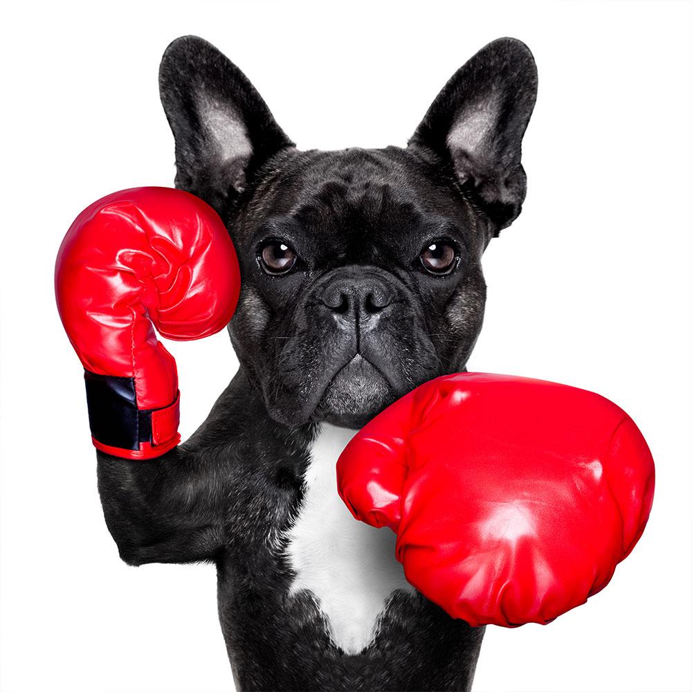 Lustiges Bild eines Hundes mit Boxhandschuhen