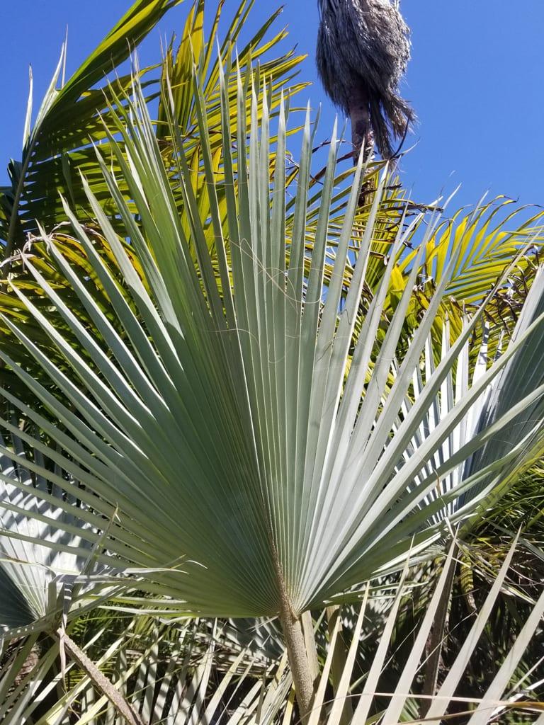 Brahea armata leaf
