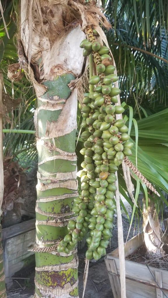 Howea forsteriana — Kentia Palm