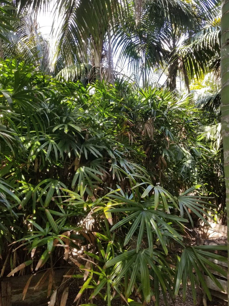Rhapis excelsa — Bamboo Palm
