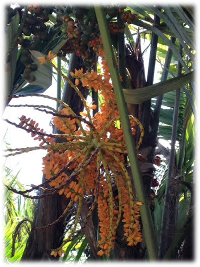 Arenga engleri - Flowers