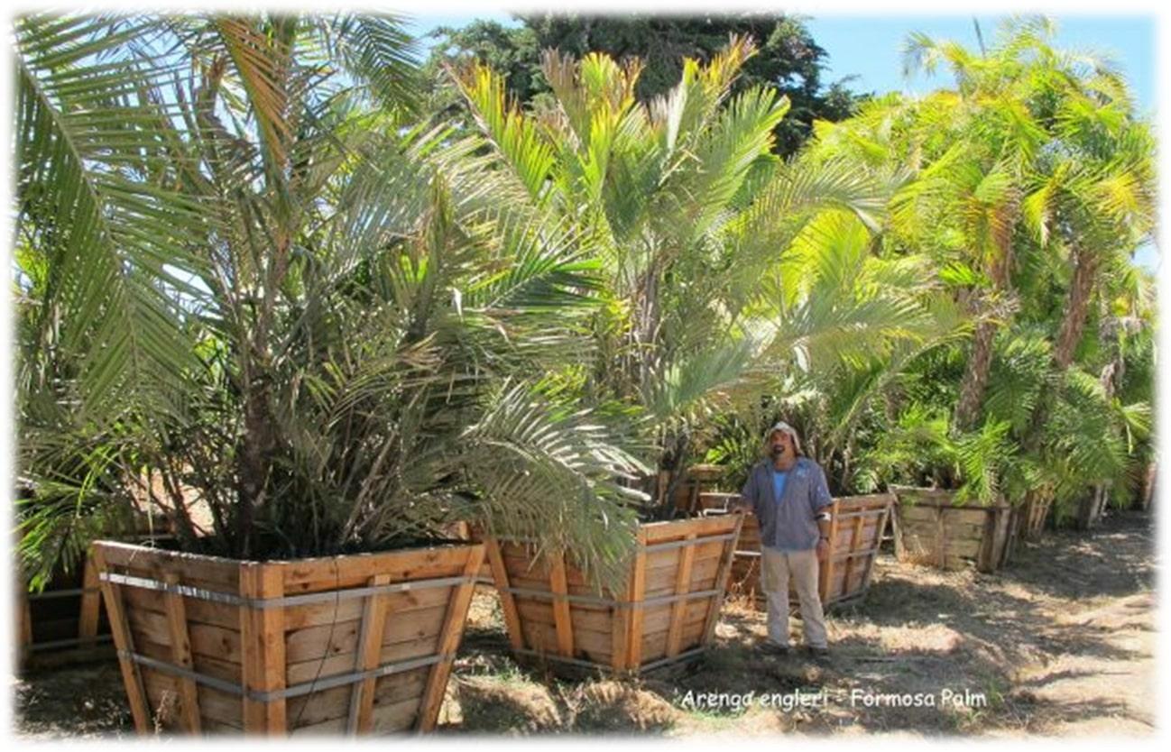 Arenga engleri - Formosa Palm