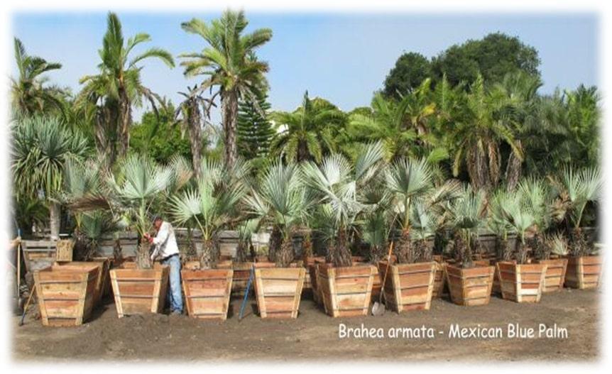 Brahea armata crop