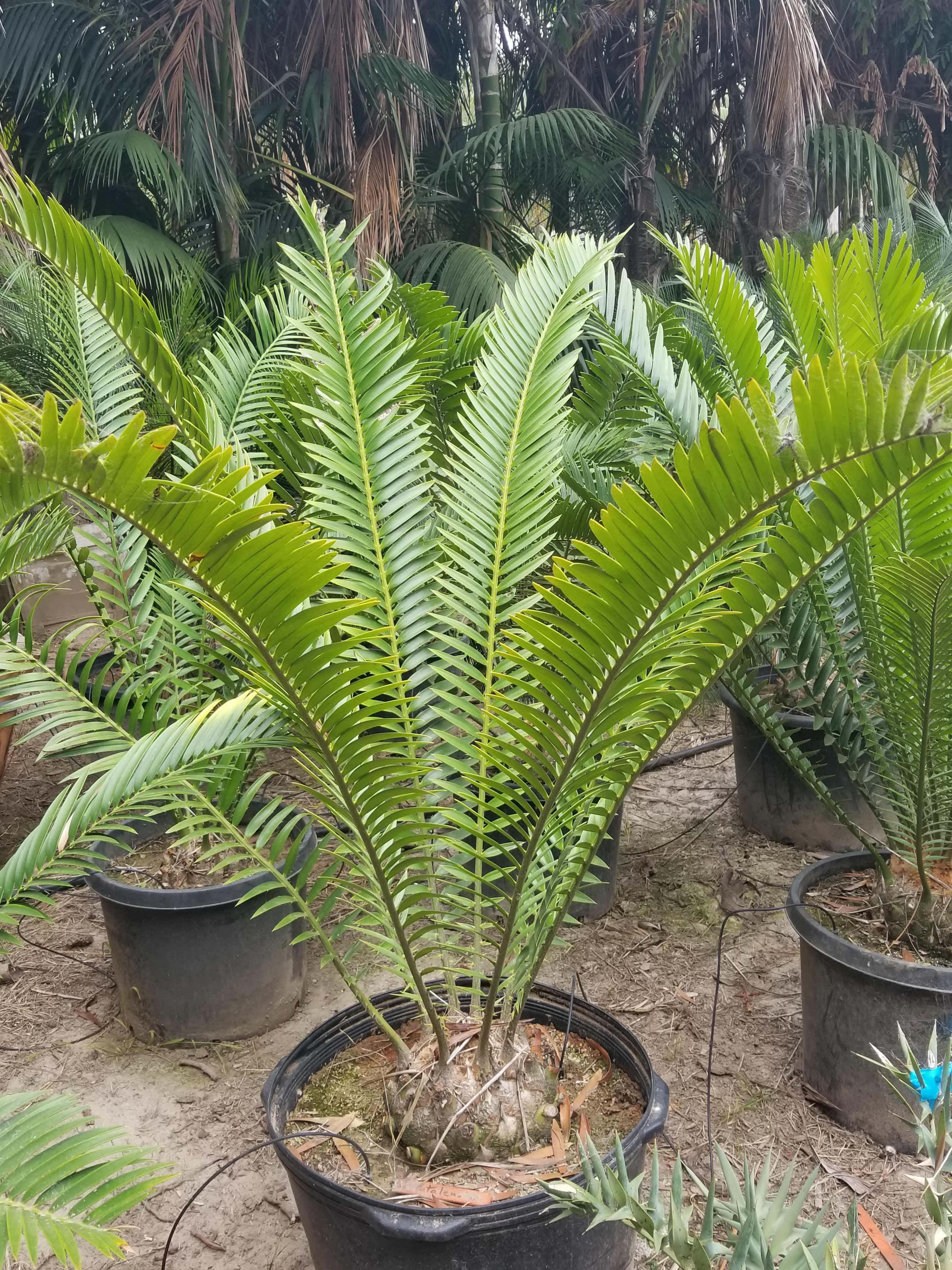 "Encephalartos natalensis 24"" tub, 7"" caudex"