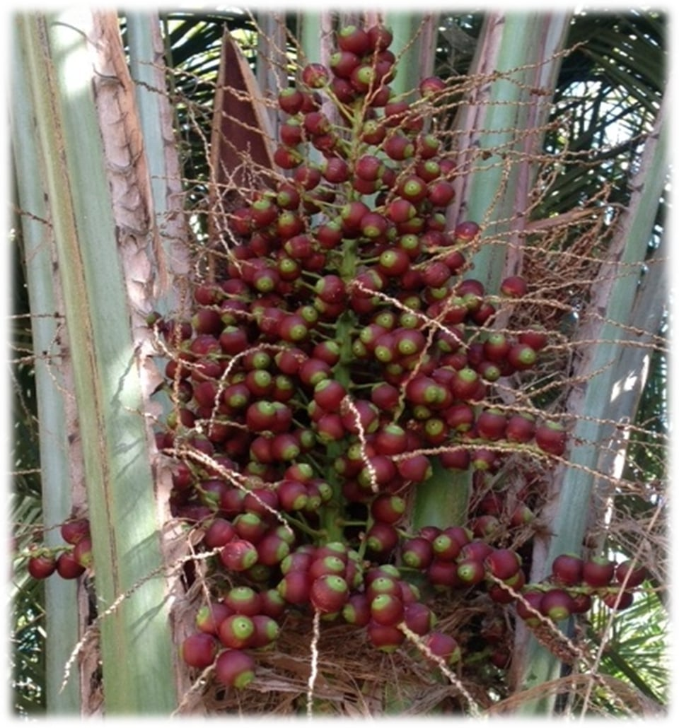 Immature seed on Butia capitata