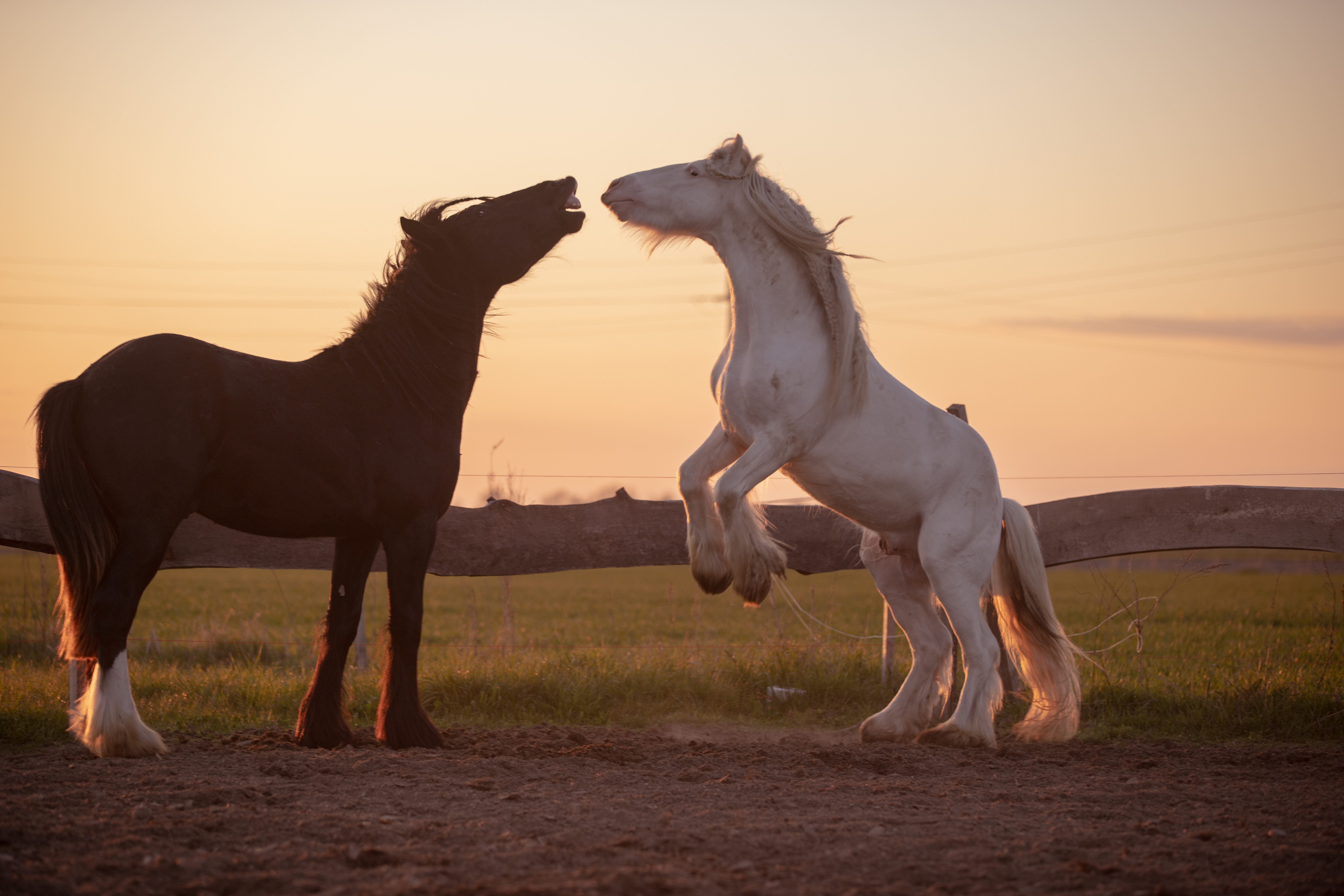 A white and black horse in a field at dusk.