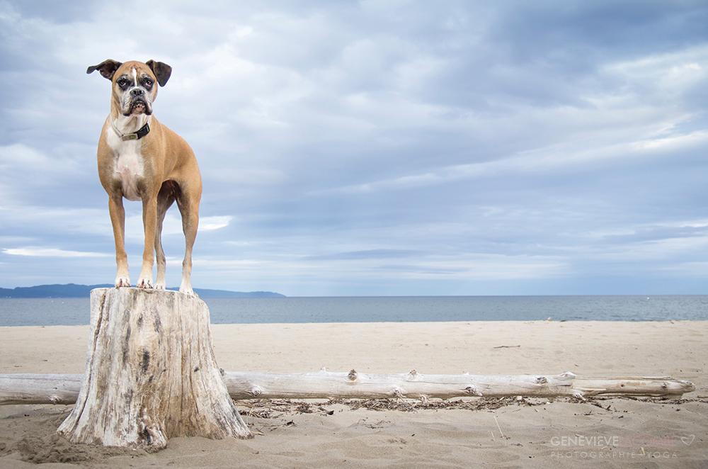 Chien boxer à la plage