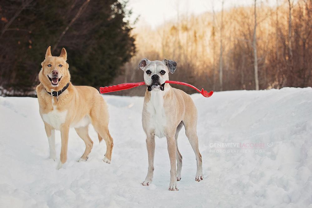 Photos de chien boxer âgé en hiver